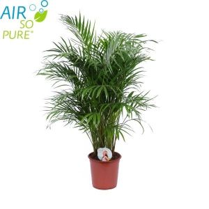 Favoriete kamerplant : Palm